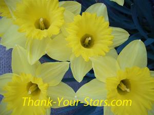 Closeup of 4 daffodils in full bloom.