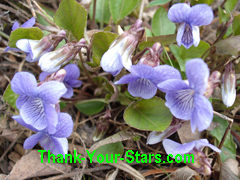 Wild Early Blue Violets Growing near my Garden