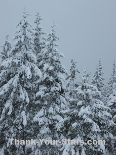Evergreens in Snow and Gray