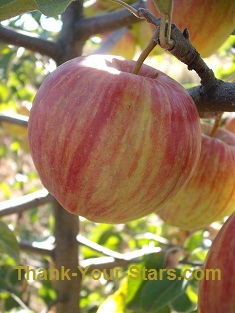 Smooth Red-Striped Honeycrisp Apples
