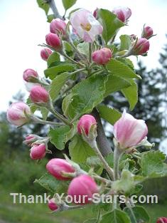 Jonathan Apple Blossoms 235 x 313