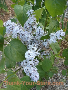 Lilacs in the Form of a Cross