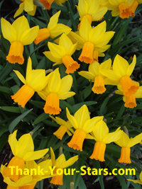Lots of small daffodils in full bloom