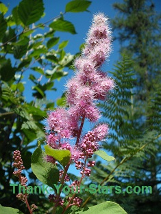 Pink Spirea against Forest and Blue Sky