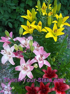 Pink Yellow and Red Lilies in Mary's Garden