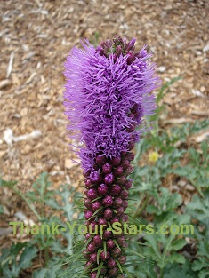 Purple Blazing Star in Mary's Garden