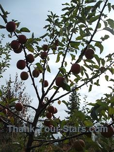 Ripe Jonathan Apples on Tree