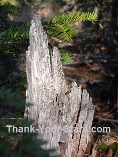 Old Tree Stump in Forest