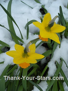 Two Daffodils in the Snow