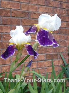 White and Purple Iris by Brick Wall