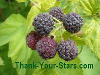 Image of Wild Ripe Black Raspberries on the Bush