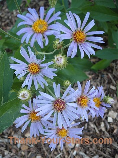 Wild Showy Purple Asters