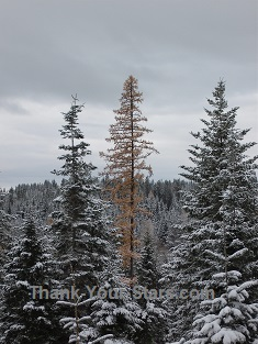 Winter Forest Tree Mix