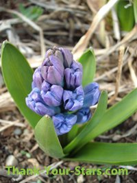 Blue hyacinth flower buds.