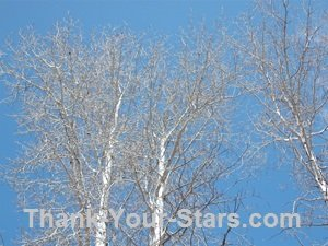 Bare cottonwood trees against blue sky with white clouds in early spring.