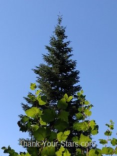 Evergreen in Blue Sky with Sunlit Leaves