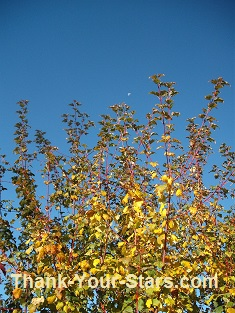 Fall Leaves, Moon and Blue Sky