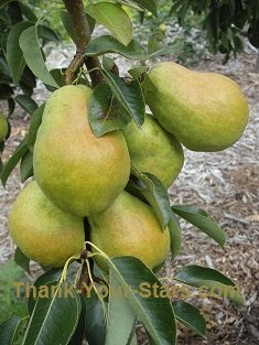 Five Ripening Pears