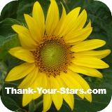 Thumbnail of bright yellow sunflower against dark blue sky