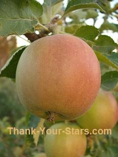 Jonathan Apples on Tree