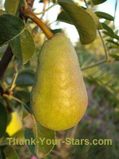 Pear in Tree
