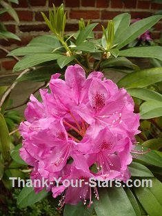 Pink Rhododendrum Flower by Brick Wall 235 x 313