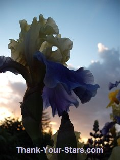 Purple and Yellow Iris against Sunset Sky