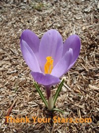 Early spring purple crocus flower in full bloom