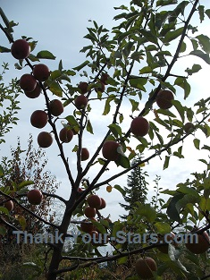 Ripe Jonathan Apples on Tree
