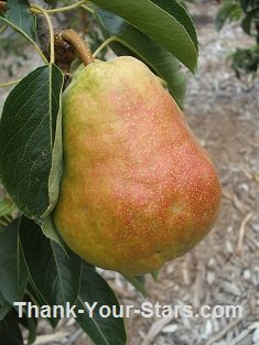 Ripening Pear with Red Blush on Tree