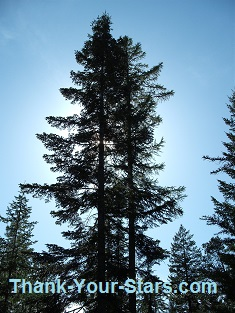 Stand of Evergreen Trees in Blue Sky backlit by the Sun