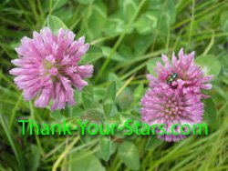 Photo Image of Wild 3-Leaf Red Clover Blossoms