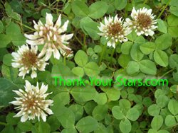 Photo Image of Wild 3-Leaf White Clover Blossoms