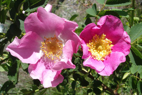 Detailed photo of the inside and 5 petals of 2 wild pink roses in full bloom