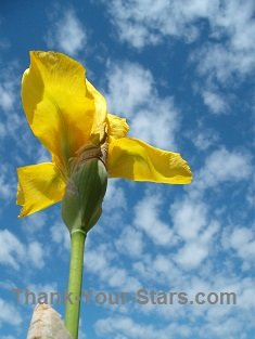 Yellow Iris against Clouds and Blue Sky